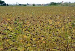 収穫が始まる宮古島産ソバ。今期は30㌧の生産を目標にしている=16日、平良西里
