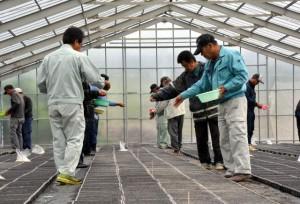20年産葉タバコの豊作を祈りながら種をまく生産農家=3日、城辺の育苗ハウス