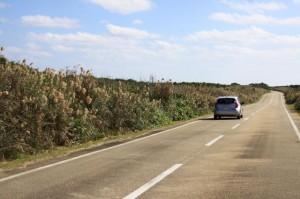 東平安名崎の道路沿いにススキが生い茂り両側に広がる景色を遮断している
