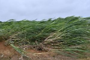 台風6号の強風被害を受けたサトウキビ=宮古島市内